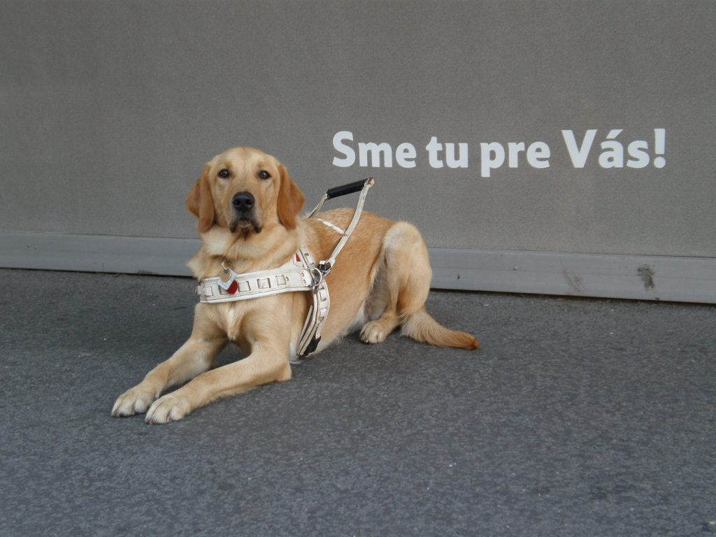 Na obrázku je ležiaci vodiaci pes s postrojom.