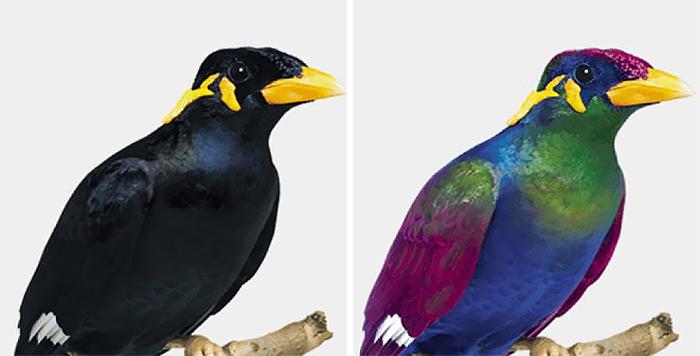 Ten istý vták, ale vľavo menej sfarbený a vpravo v pestrých farbách - v jeho perí je modrá, zelená i fialová farba.