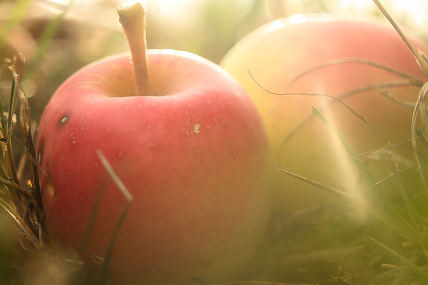 Dve červeno-žlté jabĺčka v tráve presvetlené slnečným svitom.