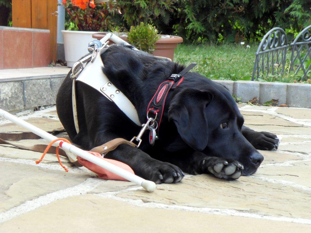Čierny vodiaci pes leží oddychujúc na dvore a pri ňom je položená biela palica.